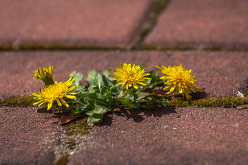 photo shows some sprouts growing on a courtyard dandelion and grass