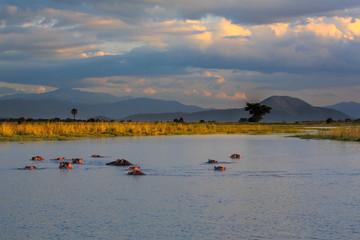 Hippopotamus (Hippos) in Liwonde N.P. - Malawi
