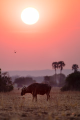 Buffalos at sunset in Liwonde N.P. - Malawi