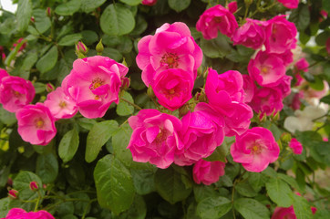 Beautiful climbing Rose Angela (Rosa Angela) is a hybrid floribunda rose cultivars ,has a fragrant soft large clusters of delicate cupped blooms in deep pink color and light pink in the center.