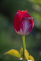 Tulip on a dark green background - the beginning of summer