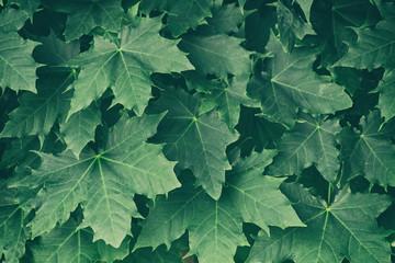 Fototapeta Green maple leaves on a tree branch obraz