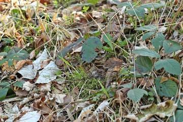 Rötelmaus (Myodes glareolus) schaut aus ihrem Versteck