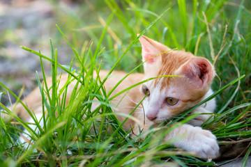 Gold white fluffy kitten relaxing in grass