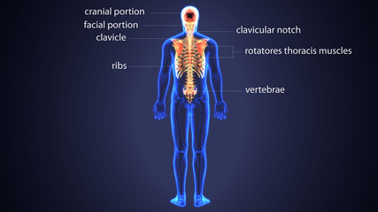 3d illustration of Spinal Cord and Ribs a part of Human Skeleton system