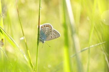 Butterfly (Common blue) on a spring morning
