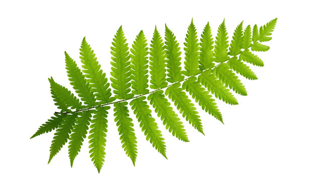 Green leaves fern tropical plant isolated on white background, clipping path included.