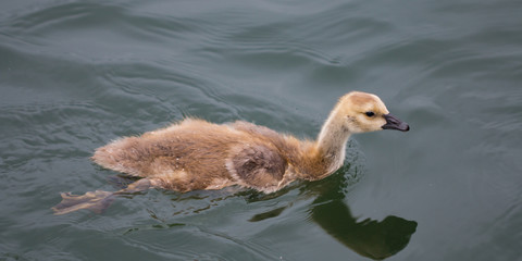 Baby Goose Swimming in the Willamette River