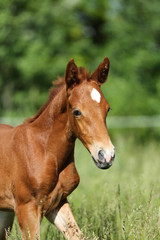 Beautiful thoroughbred fol runs across on pasture