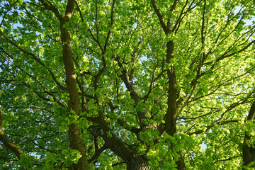 View of oak crone with green leaves.