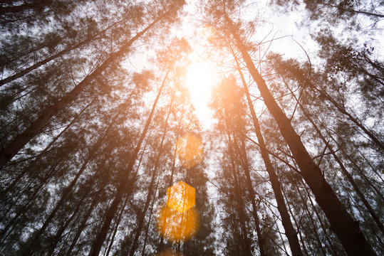 Pine woods with sun light flare. Green forest. Under view angle. Landscape and Nature concept. Environment and attraction theme.