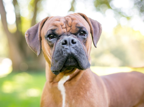 Close up of a purebred Boxer dog outdoors