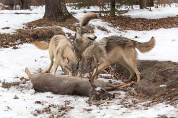 Wall Mural - Three Grey Wolves (Canis lupus) Tails Up at White-Tail Deer Kill