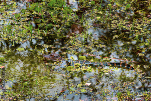 Small Baby Crocodile Florida National Park Very Cute Baby