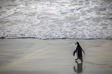 Cute African Penguin walking by the water at sunrise on Boulders Beach, Cape Town, South Africa.