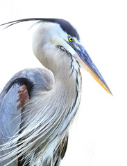 Closeup of a Beautiful Great Blue Heron with a White Background