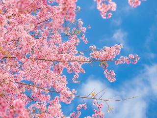 pink sakura flowers, beautiful Cherry Blossom in nature .