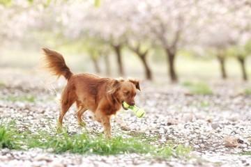 Milky, almond trees blossom