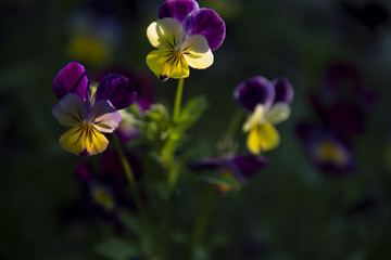 violets against a dark background