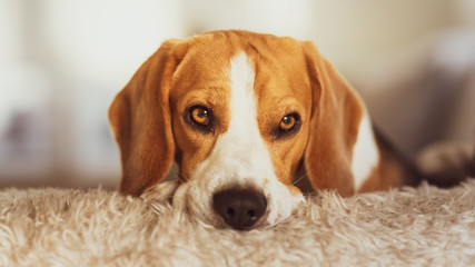 Beagle dog portrait on a couch