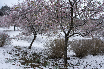 雪の日の河津桜