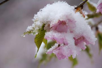 雪の日の河津桜の花