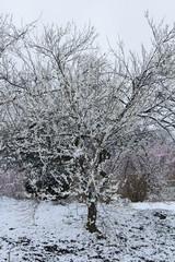雪の日の白梅