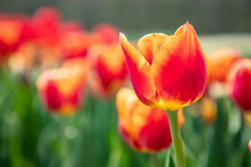 A bunch of orange tulips showing a single tulip as a focus point