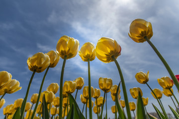 Shot of yellow tulip flowers against blue sky