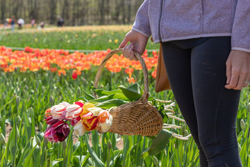 A hand of a woman is holding a basket of tulip flowers