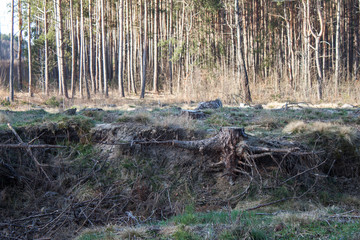 Pine stump, result of tree felling