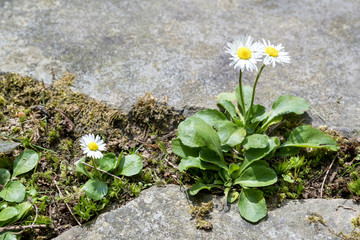daisies in the gap of a natural stone terrace