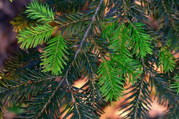 Simple still-life photo of pine branch