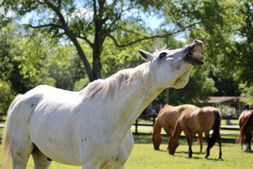 Gray Horse Flehmen Response