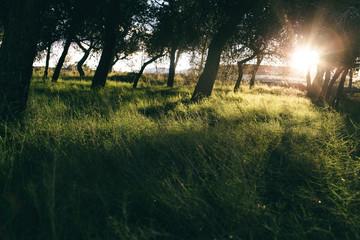 paisaje con pinos cielo y sol cálido