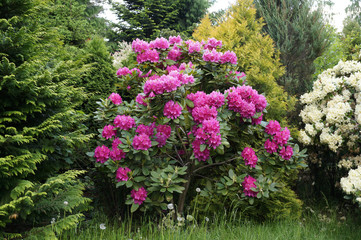 Photo sur Aluminium Azalea Rhododendron bush blooming