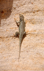 Lizard on sandstone wall in the Bisti Badlands desert of North West New Mexico.
