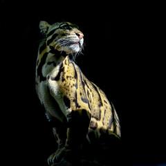 jaguar in sun
