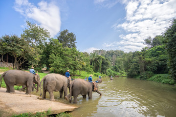 Mahouts bath and clean the elephants in the river.