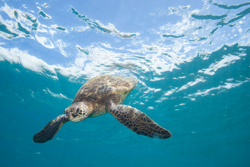 Sea Turtle Underwater in Tropical Clear Blue Ocean from Below