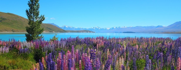 Colorful Lupine Wild Flowers and Alpine Lake in New Zealand