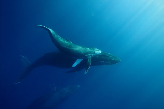 Underwater encounter with a mom and calf humpback whale in clear blue tropical water