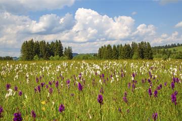 Allgäu - Wiese - Blumen - Alpenblumen - Knabenkraut - Wollgras