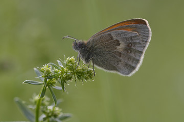 A butterfly heath (Coenonympha) sitting on a wild flower.