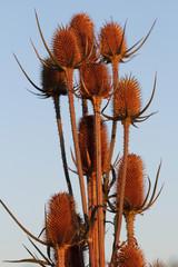 Wild teasel (dipsacus fullonum) on the late summer field