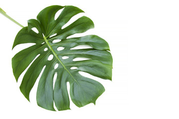 palm tree leaf isolated on white