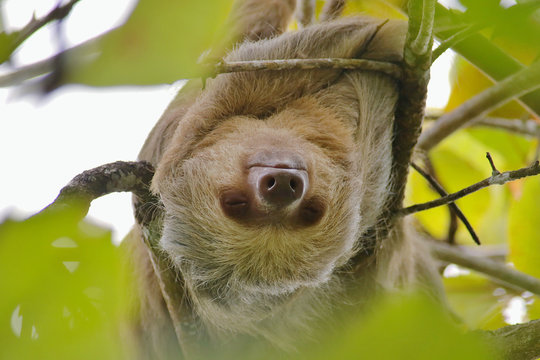 Hoffmann's Two-toed Sloth (Choloepus hoffmanni) upside down in a tree in the Manuel Antonio National Park, Puntarenas Province, Costa Rica.