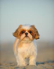 Shih Tzu dog outdoor portrait standing on beach