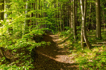 Bright green forest natural walkway in sunny day light. Sunshine forest trees. Sun through vivid green forest.