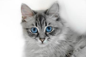 Siberian Neva Masquerade Cat Portrait in White Background